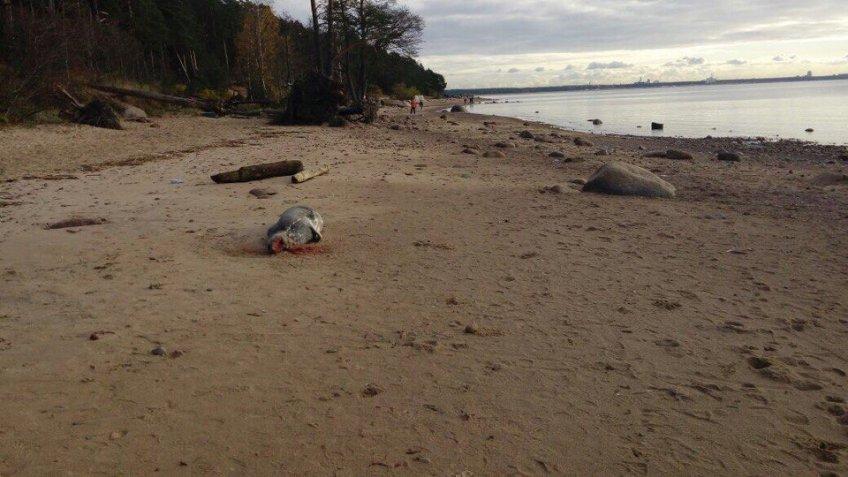 Под Петербургом наберегу Финского залива безжалостно убили 2-х тюленей