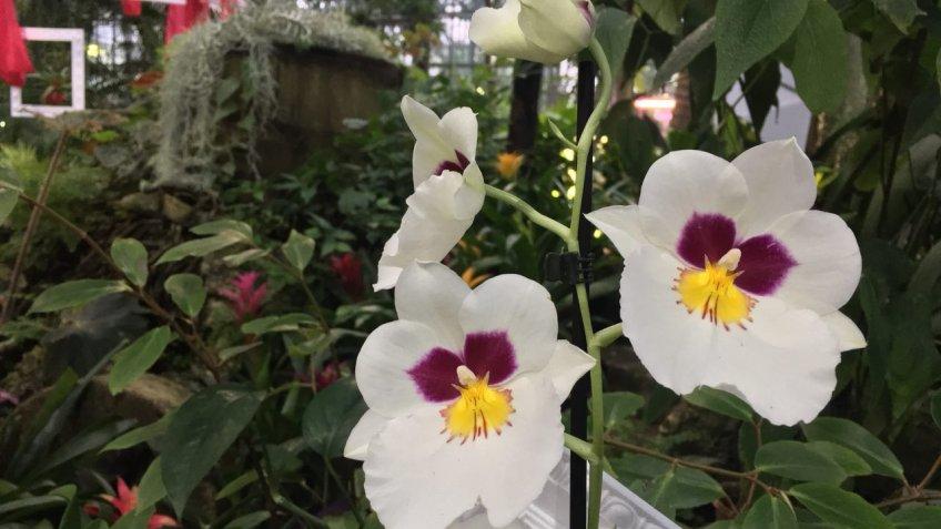 Санкт-Петербург: ВБотаническом саду открылась выставка орхидей «Осколки радуги»