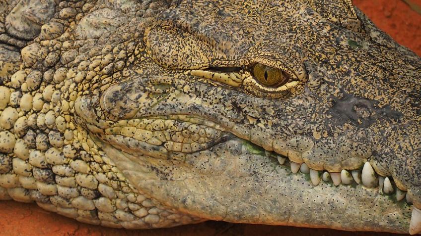 Изподвальных вод дома вПетербурге вынырнул крокодил